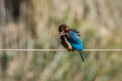 Puffed Kingfisher Royalty Free Stock Image