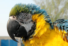 Puffed-out blue and gold macaw. Head of blue and gold macaw stock photo