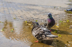 Puffed pigeon in water Royalty Free Stock Photo