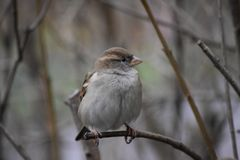 Puffed Sparrow. On a Branch stock images