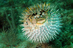 Puffed up blowfish swimming underwater in the ocean. Puffed up blowfish swimming in the ocean Stock Images