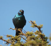 Puffed-up Cape Starling with attitude Royalty Free Stock Photo