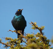 Puffed-up Cape Starling clear right Royalty Free Stock Photo