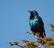 Puffed-up Cape Starling with inquisitive look Stock Photo