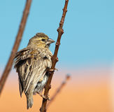 Puffed up female finch Royalty Free Stock Photos
