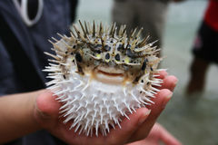 Puffed Up Fish. A comical looking puff fish that has puffed up. It's got a funny face, with a grin and strange looks. This is a defensive mechanism, it uses when royalty free stock photo