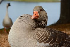 Puffed Up Goose. At Lake Miramar in San Diego, California stock photography