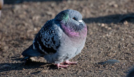 Puffed up pigeon Stock Photo