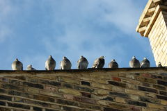 Puffed up pigeons on a roof Royalty Free Stock Photo