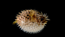 Puffed up puffer fish. An angry puffed up blow fish on a black background stock image