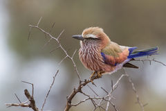 Puffed up purple roller sitting on a branch during cold morning Royalty Free Stock Photos