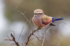 Puffed up purple roller sitting on a branch during cold morning Stock Image