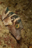 Puffer, Black-saddled Toby, Mabul Island, Sabah Royalty Free Stock Images