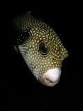 puffer för dykfisknatt Fotografering för Bildbyråer