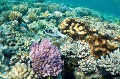 puffer för korallfiskträdgård Royaltyfri Foto