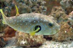 Puffer-Fische Stockbilder