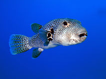 Free Puffer Fish Stock Images - 11001824