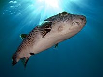 Free Puffer Fish Royalty Free Stock Photography - 11001847