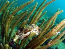 Puffer Fish Stock Photos