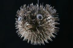 Puffer Fish. Ocean Puffer Fish stock photos