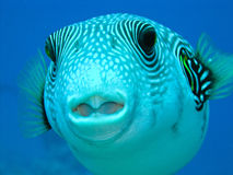 Puffer fish. In face of puffer fish, Red Sea Royalty Free Stock Images
