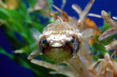 Puffer fish. Face of a blue eyed puffer fish, shallow depth of field royalty free stock image