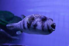 Puffer fish in aquarium. Arothron hispidus. Puffer fish swimming in aquarium. Arothron hispidus Royalty Free Stock Photo