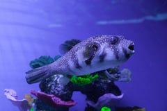 Puffer fish in aquarium. Arothron hispidus. Puffer fish swimming in aquarium. Arothron hispidus Stock Photo