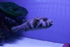 Puffer fish. Arothron hispidus. Puffer fish in aquarium. Arothron hispidus. Marine fish Stock Photos