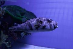 Puffer fish. Arothron hispidus. Puffer fish in aquarium. Arothron hispidus. Marine fish Stock Image
