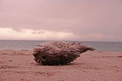 Puffer fish or balloon fish died on the beach royalty free stock image