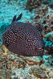 Puffer fish black white spotted royalty free stock photos