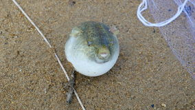 Puffer fish, blow fish, toad fish stock video footage