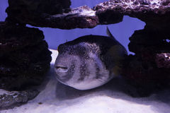 Puffer fish on the bottom Stock Photo