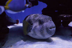 Puffer fish close up Stock Images