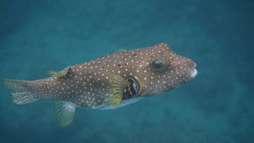 Puffer Fish . Coco Bay royalty free stock photography