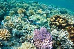 Puffer fish in coral garden Stock Photos