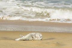 Puffer fish, dead, on the beach, Arugam Bay, Sri lanka Royalty Free Stock Photo