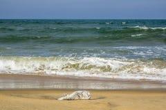 Puffer fish, dead, on the beach, Arugam Bay, Sri lanka Stock Photography