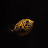 Puffer fish floating in the dark sea stock photography