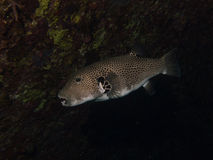 Puffer fish hiding in a shadow Stock Photography