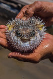 Puffer Fish Royalty Free Stock Photos