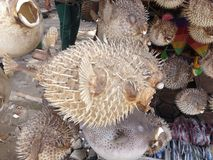 Puffer fish. On its way to greedy western tourists royalty free stock photo