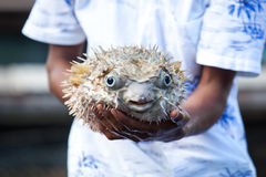 Puffer fish Stock Images
