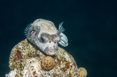 Puffer fish royalty free stock images