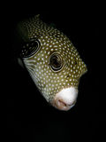 Puffer fish on a night dive Stock Image