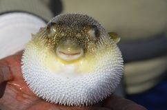 The puffer fish. The perfect picture of a puffer fish Royalty Free Stock Photography