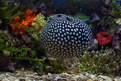 Puffer fish. Photo of fish and sea animals, photo taken from the aquarium from one of the marine biota collection center stock photos