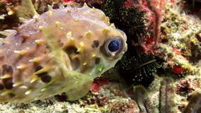 Puffer fish pouted and then blown away. Sea Life. Puffer fish pouted and then blown away! Sea Life. Amazing, beautiful underwater world Bali Indonesia and  life stock footage