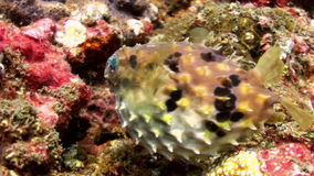 Puffer fish pouted and then blown away. Sea Life. stock footage